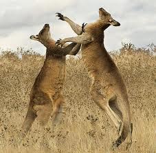 Kangaroosfighting
