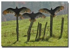 Buzzards3wings